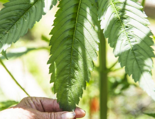 NZ scientists excited by the promise of hemp crops